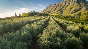 TOKARO olive grove landscape HR